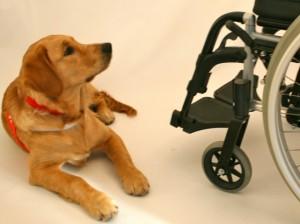 Å samarbeide med en pasient som sitter i rullestol, krever ekstra konsentrasjon hos hunden. Den må ikke dytte eller skyve på stolen, og må være trent til å føle seg trygg og komfortabel med bl.a. elektrisk stol.