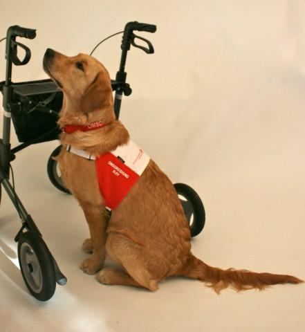 Å jobbe ved/rundt en pasient som benytter gåstol/rullator, krever ekstra trening for omsorgshundeleven. Det er viktig at hunden kan posisjonere seg slik fører gir beskjed om. Dette er for å kunne møte pasientens behov i forhold til ballanse, syn, styrke, høyde, o.s.v.